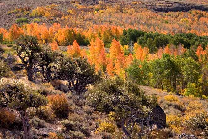 Quaking Aspen in Steens Mountain